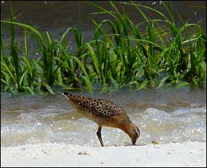 Dowitcher feeding along beach