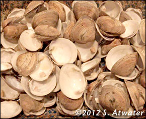 Clams - A Cedar Key specialty - Photo courtesy of Steve Atwater