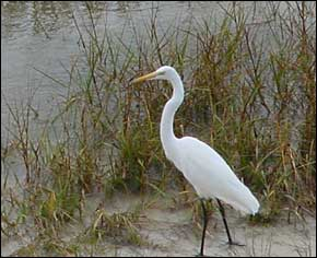 Egret fishing in the grasses.
