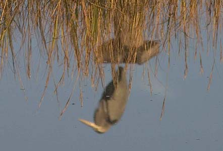 Great Blue Heron Reflected - Cedar Keys National Wildlife Refuge