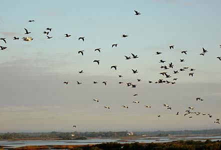 Birds migrating as seen off Tranquility's balcony in Cedar Key Florida